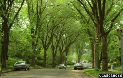 American elm trees, photo by Joseph O'brian, USDA Forest Service