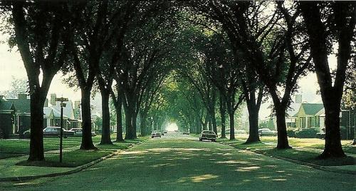 An elm-lined street, 1950s