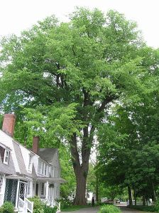 Massachusetts American Elm, photographed on May 26, 2012
