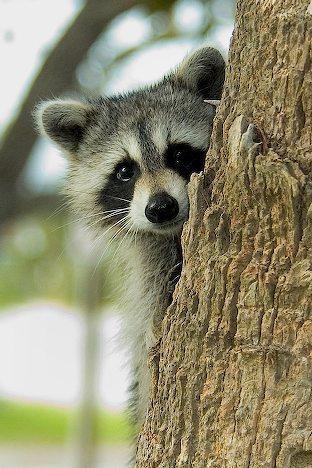 Somalia | Iris sans frontières Raccoon Face