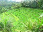 bali terraced rice fields