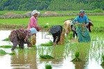 Indonesia rice cultivation bangkalan madura
